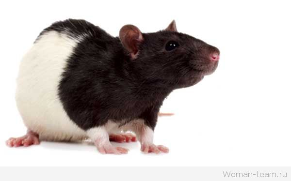 К чему крысы снятся