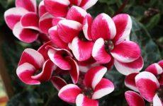 Цветок цикламен. Как ухаживать? Фото