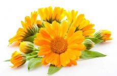 Календула лечебные свойства и противопоказания