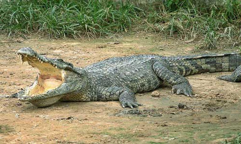 Если во сне приснились крокодилы