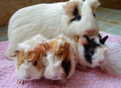 Чем кормить морских свинок в домашних условиях можно 371