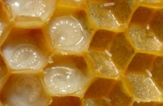 Пчелиное маточное молочко, его полезные и целебные свойства, применение