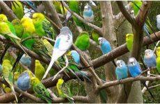 Как научить говорить волнистого попугая