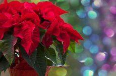 Цветок рождественская звезда как ухаживать