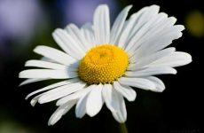 Ромашка лечебные свойства и противопоказания
