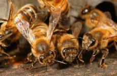 Пчелиный подмор польза и вред