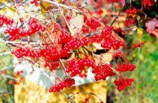 Калина красная полезные свойства и противопоказания