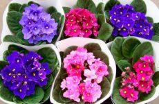Как ухаживать за фиалкой в домашних условиях: сорта, посадка, цветение